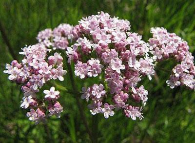 валериана в период цветения