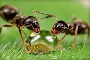 Как применять муравьиную кислоту