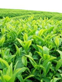 На самом ли деле полезен зеленый чай?
