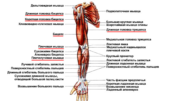 Передняя группа мышц плеча
