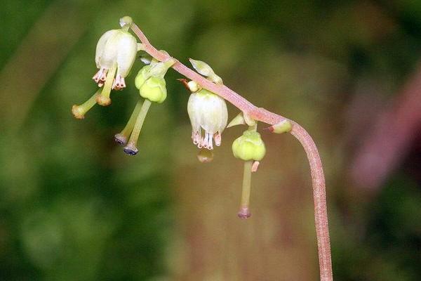 Боровая матка (Orthilia secunda)