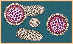 Избыточная продукция поверхностного белка (HBsAg)
