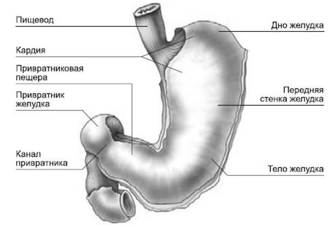 Анатомия кардии желудка
