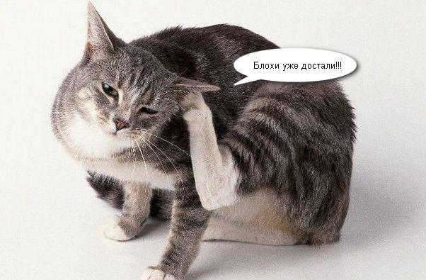 у кошки блохи