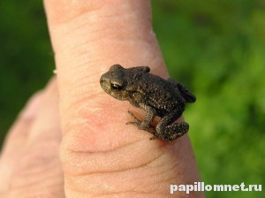 Фото маленькой лягушки на пальце феловека к статье о средствах от бородавок