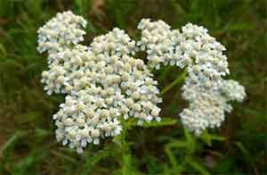Цветки тысячелистника