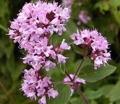 цветки душицы