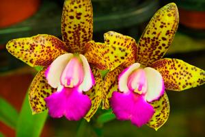 Орхидея дома в горшке — как правильно ухаживать за рестением