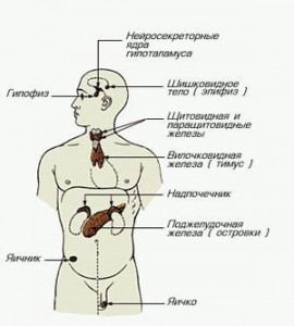 Эндокринная и нервная системы