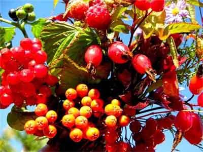 целебные плоды