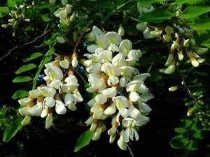 цветы акации