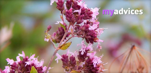 лечебные свойства травы материнки