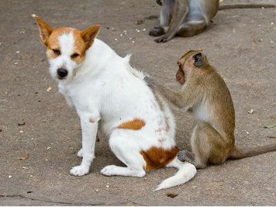 обезьяна выбирает блох у собаки