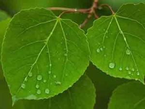 осиновые листья