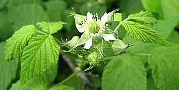цветы малины