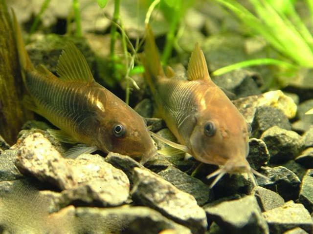 3adab697f8fe2b Золота рибка в акваріумі з кришталево чистою водою — провісник виконання  бажань. Недарма її зображують у багатьох казках як чарівна істота.