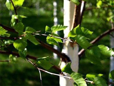 молодые березовые листочки