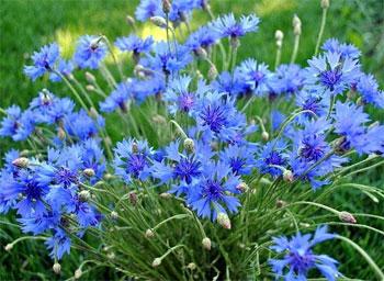 цветы василька полевого
