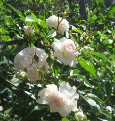 роза крымская