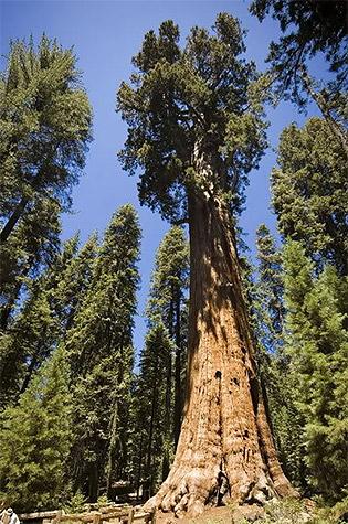 Калифорнийская секвойя