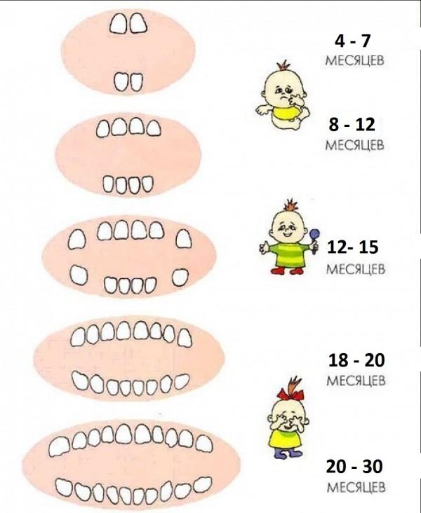 Схема прорезывания зубов