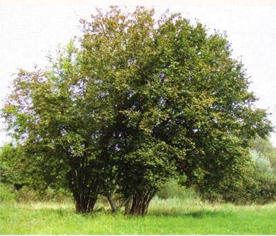 достаточно большое дерево