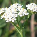цветочки тысячелистника
