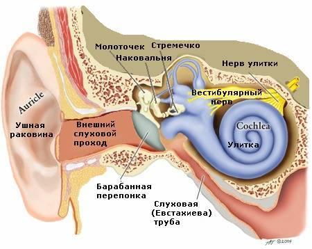 строение уха вестибюлярынй нерв