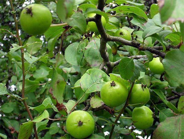 яблоня дикая