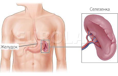 Орган расположен рядом с желудком