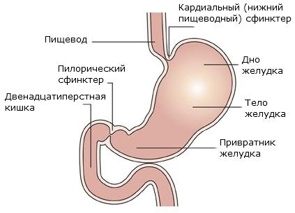 Устройство желудка